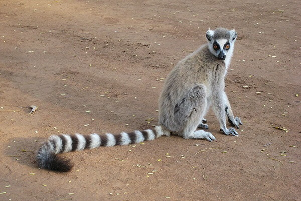 Madagascar National Animal