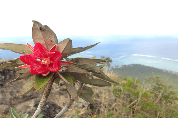 Mauritius National Flower