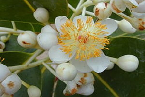 Nauru National Flower