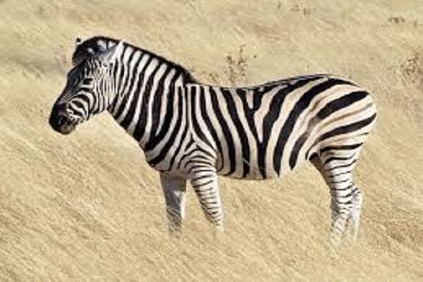 Botswana National Animal