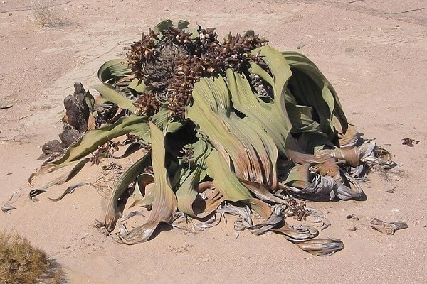 Namibia National Flower