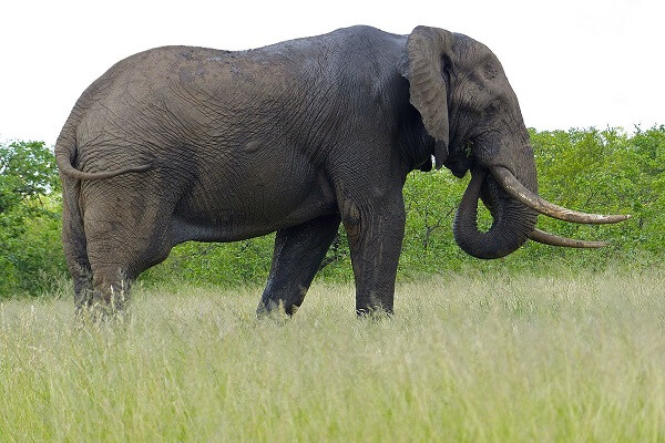 Ivory Coast National Animal